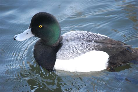 Greater scaup - song / call / voice / sound