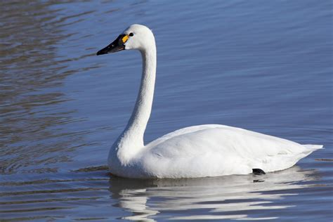 Tundra swan - song / call / voice / sound