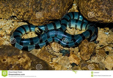 Sea Snake,philippines Royalty Free Stock Photography