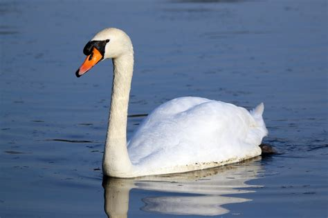 Mute Swan - song / call / voice / sound
